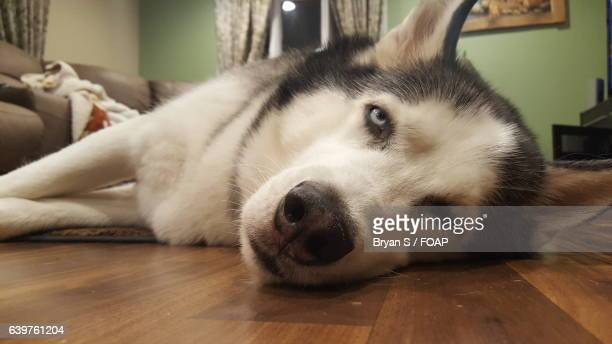 Siberian husky dog lying on floor