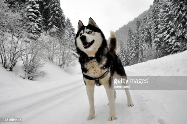 siberian husky dog perspective. - シベリアンハスキー ストックフォトと画像