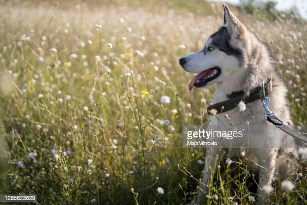 シベリアハスキー犬 - マラミュート犬 ストックフォトと画像