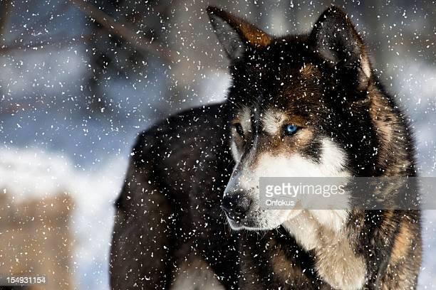 chien husky sibérien - province du québec photos et images de collection