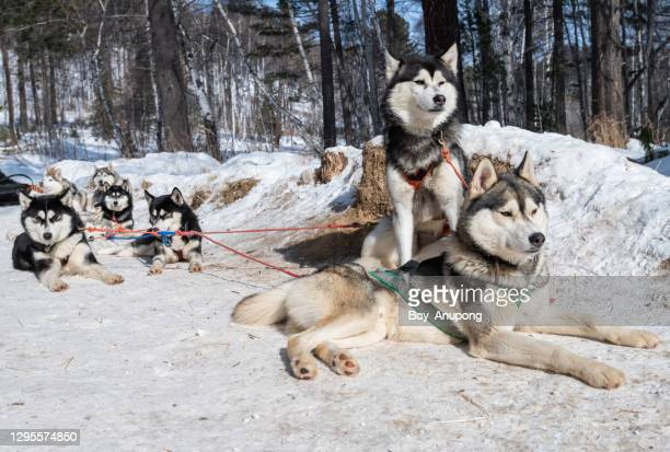 siberian husky dogs in winter season of siberia, russia. - シベリアンハスキー ストックフォトと画像