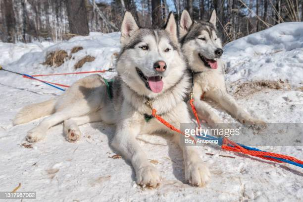 siberian husky dogs in winter season of siberia, russia. - arctic stock pictures, royalty-free photos & images