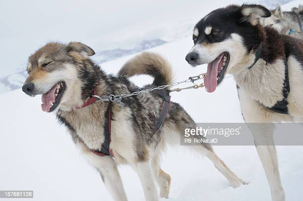 siberian husky dogsledding in winter - dog sledding stock photos and pictures