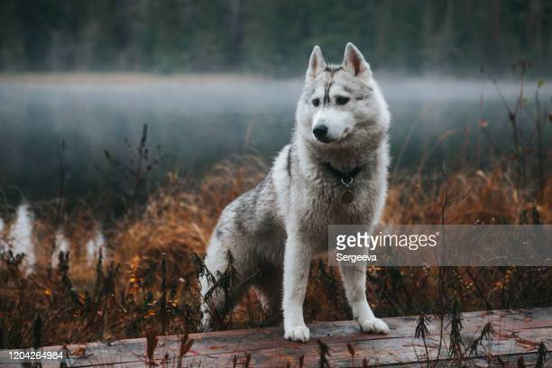 siberian husky in the fog - husky dog stock pictures, royalty-free photos & images