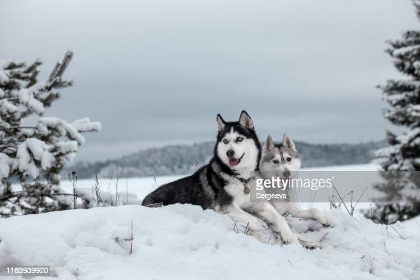 siberian husky in winter snow - husky dog stock pictures, royalty-free photos & images