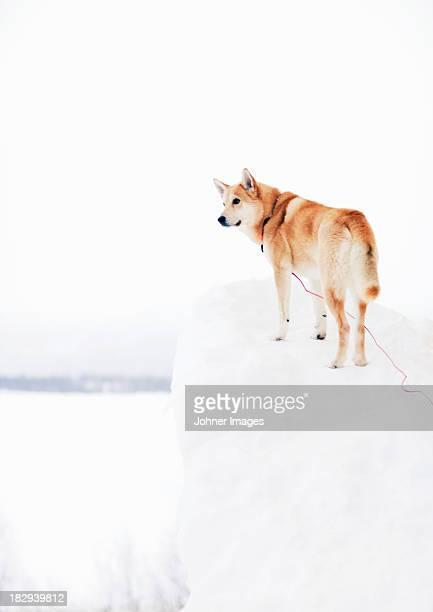 Siberian Husky looking away