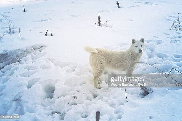 Siberian Husky On Snow Covered Field