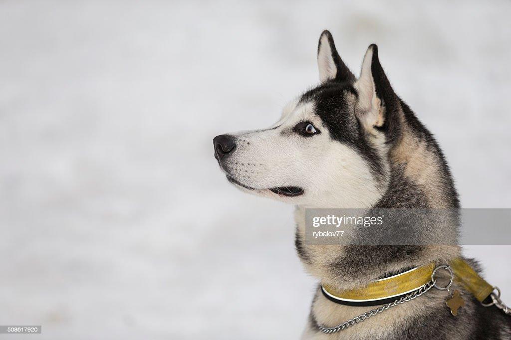 Siberian Husky : Stock Photo