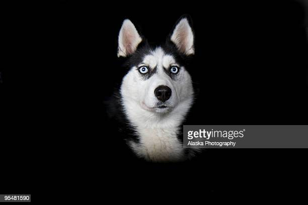 siberian husky - husky dog stock pictures, royalty-free photos & images