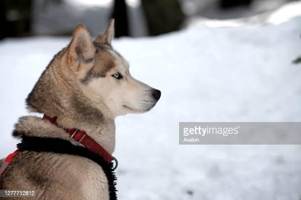 Siberian Husky , portrait, sled dog, France.