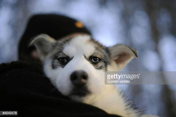 Siberian Husky pup is carried out of his cage on December 15 in a Husky farm in Rovaniemi. Husky is a general term for several breeds of dogs used as...
