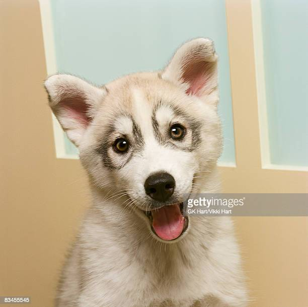 siberian husky puppy in front of door - panting stock pictures, royalty-free photos & images