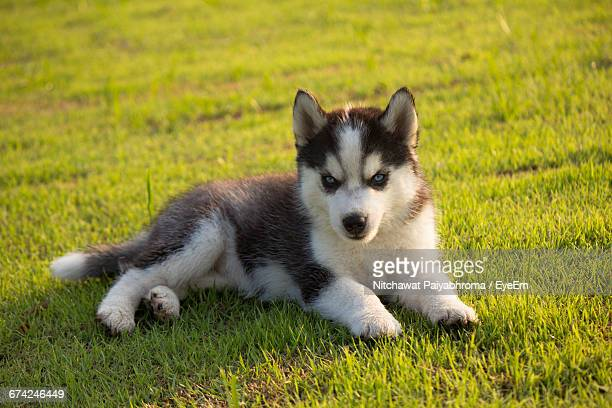 Siberian Husky Puppy Resting On Field