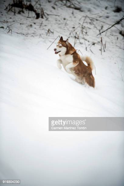 siberian husky running in snow - シベリアンハスキー ストックフォトと画像