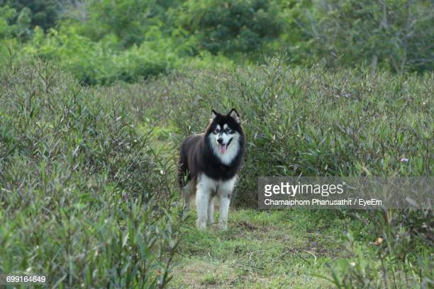Siberian Husky Standing On Field Amidst Plants At Forest