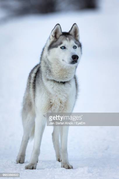 Siberian Husky Standing On Snow Covered Field