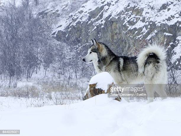 Siberian Husky Standing On Snowy Field