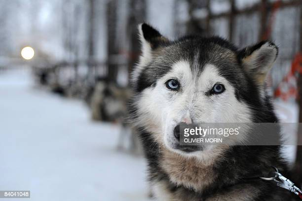 Siberian Husky waits for the start of the ride on December 15 in a Husky farm in Rovaniemi Husky is a general term for several breeds of dogs used as...