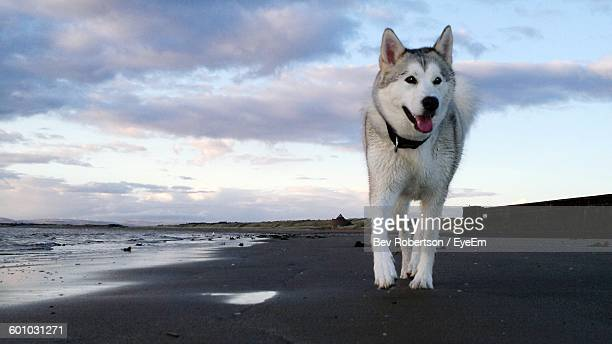 Siberian Husky Walking On Beach Against Cloudy Sky