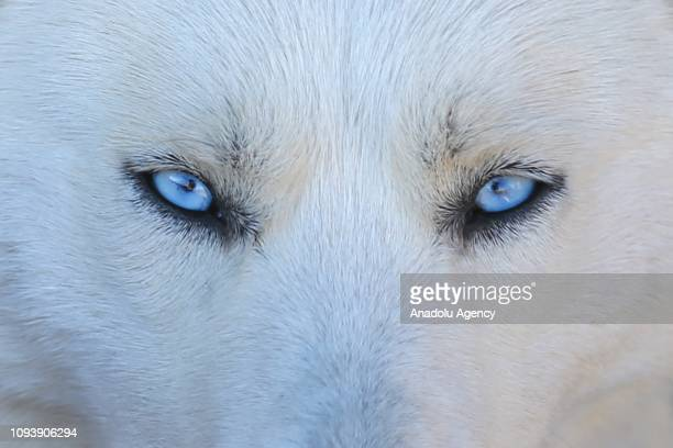 Siberian husky with blue eyes looks on at a roadhouse in Gevas district of Turkey's eastern Van province