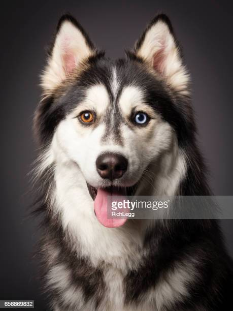siberian husky with heterochromia - husky dog stock pictures, royalty-free photos & images