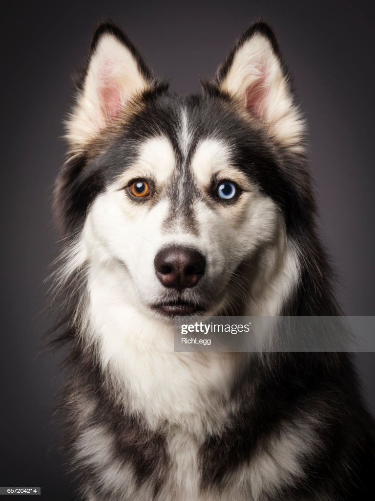 Siberian Husky with Heterochromia : Stock Photo