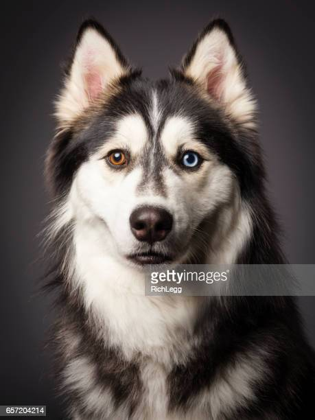 siberian husky with heterochromia - seeing eye dog stock photos and pictures