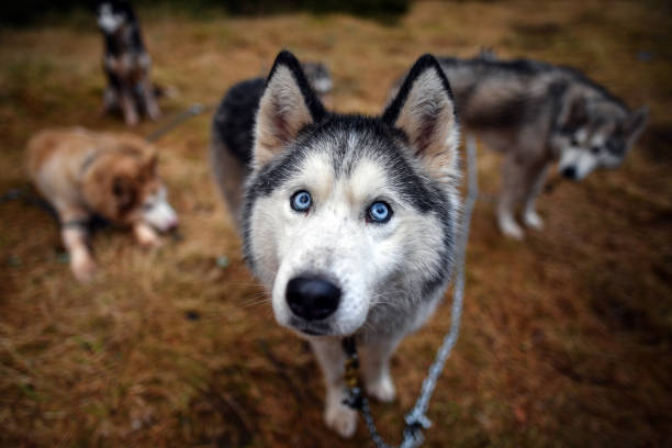 GBR: Dogs Prepare For The Siberian Husky Club of Great Britain 37th Aviemore Sled Dog Rally