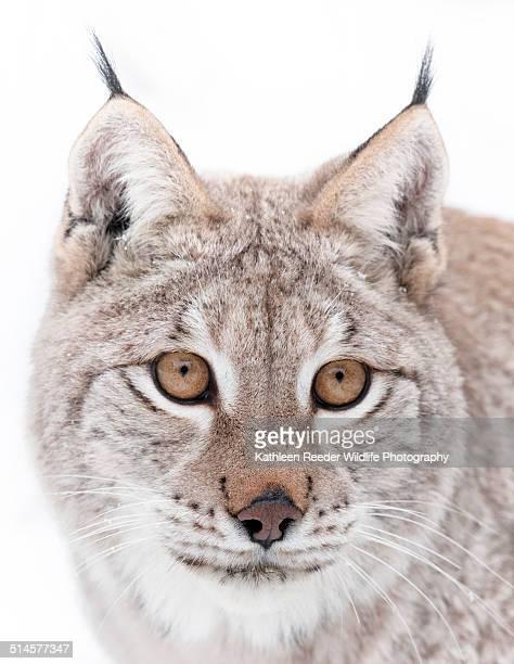 Siberian Lynx portrait
