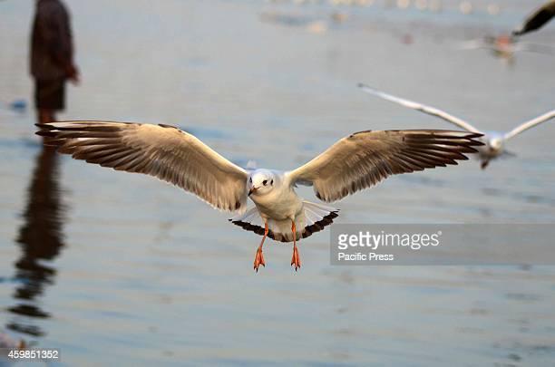 Siberian sea gull flying at Sangam in Allahabad.