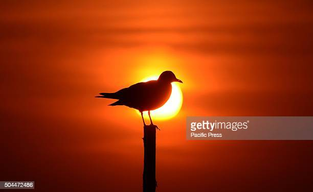 Siberian sea gull sit on a bamboo during Sunset at Sangam the confluence of River Ganga