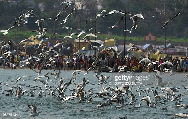 Siberian seagulls fly as Indian Hindu devotees perform rituals on the occasion of 'Maghi Purnima' during the Maghmela festival at Sangam, in the...