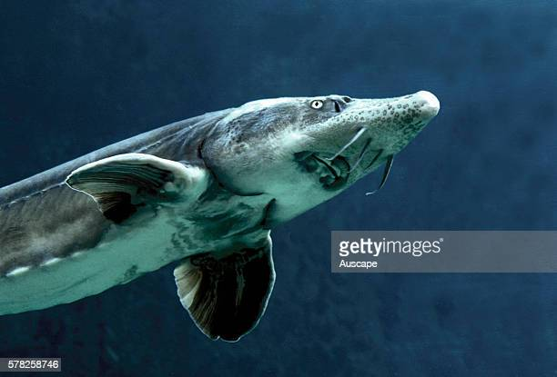Siberian sturgeon Acipenser baerii Large fish that feeds on the bottom one of the primitive rayfinned fishes with skeleton partly bone partly...