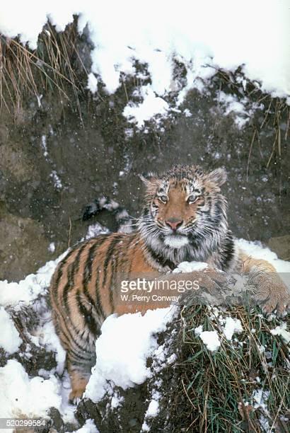 Siberian Tiger at Rest