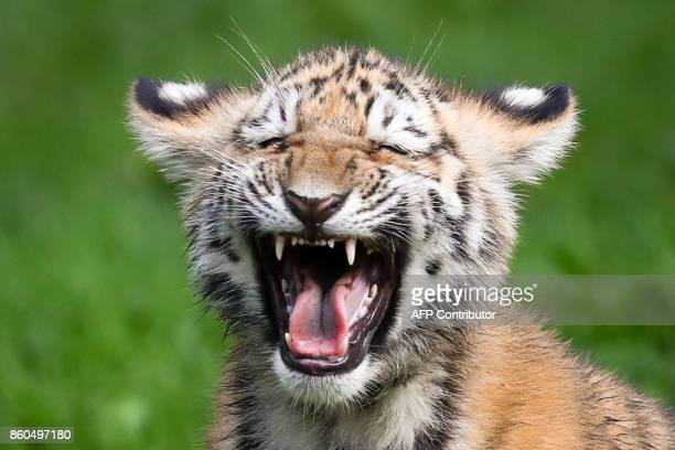 Siberian tiger baby hisses during its first outing at the Tierpark Hagenbeck zoo in Hamburg northern Germany on October 12 2017 Four Siberian tiger...