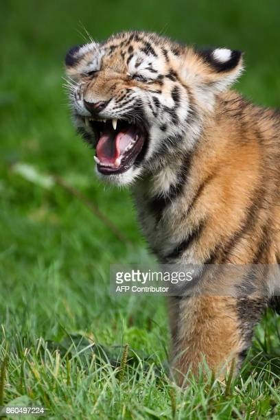 A Siberian tiger baby hisses during its first outing at the Tierpark Hagenbeck zoo in Hamburg northern Germany on October 12 2017 Four Siberian tiger...