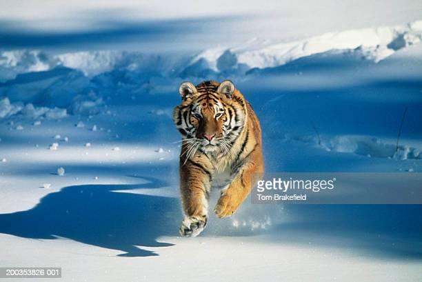 siberian tiger (panthera tigris altaica) charging through snow - big cat stock pictures, royalty-free photos & images