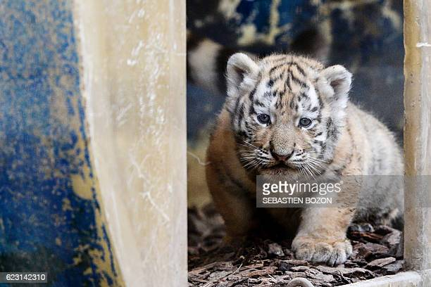 A Siberian tiger cub is pictured at the Besancon zoo on November 14 2016 Three Siberian tigers were born on September 29 2016 at the zoological park...