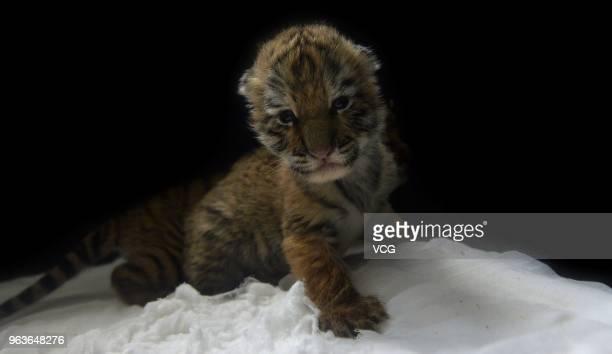 Siberian tiger cub looks at the camera at Guaipo Siberian Tiger Park on May 29 2018 in Shenyang China The Park welcomed 24 Siberian tiger cubs also...