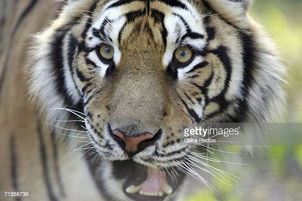 A Siberian tiger cub looks on at Erdaohe Tiger Park July 2 2006 in Antu County of Yanbian Chaoxian Autonomous Prefecture Jilin Province China About...