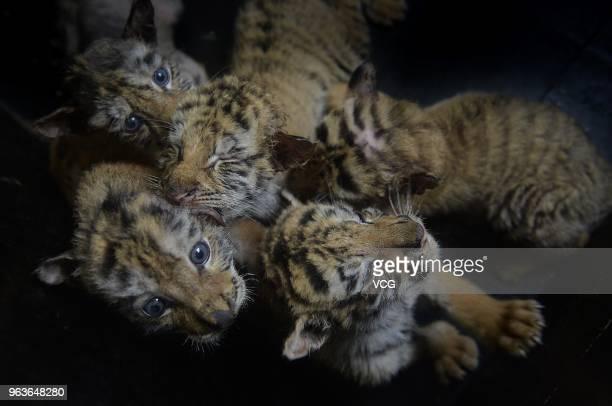 Siberian tiger cubs gather together at Shenyang Guaipo Siberian Tiger Park on May 29 2018 in Shenyang China The Park welcomed 24 Siberian tiger cubs...