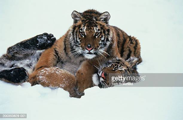 Siberian tiger (Panthera tigris altaica) cubs playing in snow