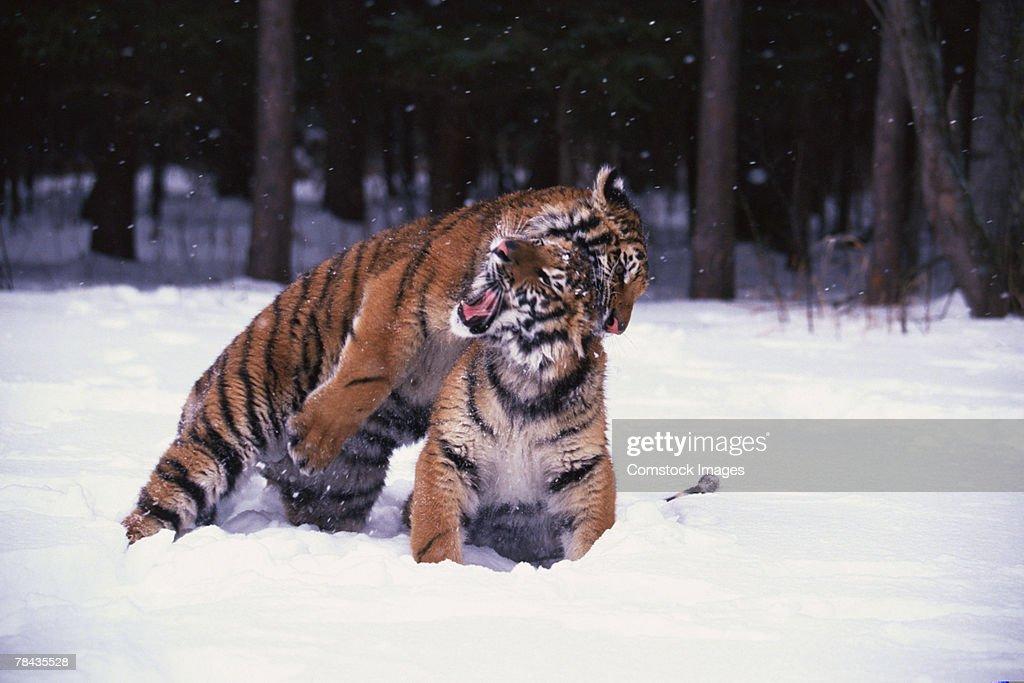 Siberian tiger cubs playing in snow , Siberia : Stockfoto