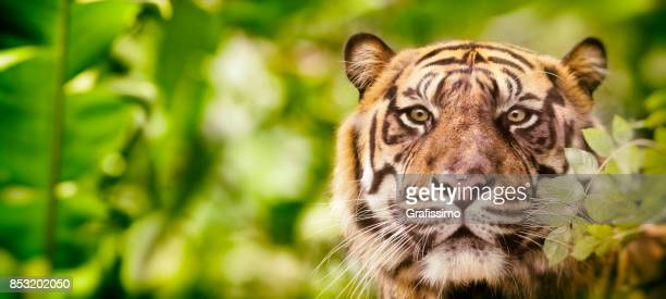 siberian tiger headshot looking at camera in jungle - siberian tiger stock pictures, royalty-free photos & images