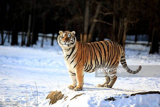siberian  tiger in snow - siberian tiger stock pictures, royalty-free photos & images