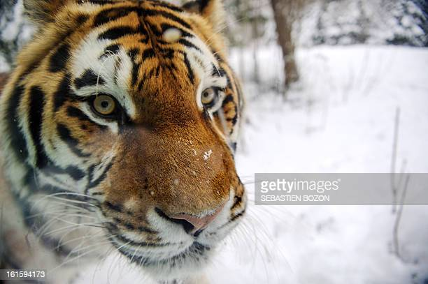 A Siberian tiger is pictured at Mulhouse zoo on February 12 2013 The Siberian tiger is the largest living felid AFP PHOTO / SEBASTIEN BOZON
