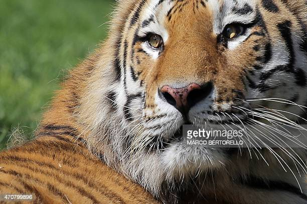 A Siberian tiger is pictured at Zoom Torino a zoological park in Cumiana near Turin on April 22 2015 Zoom Torino is a new immersive zoological park...