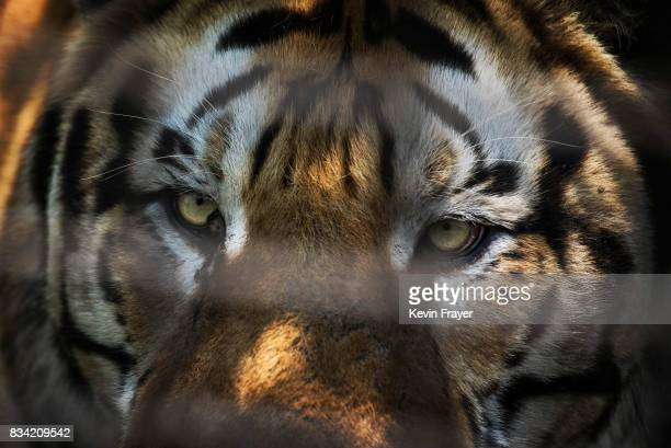 A Siberian tiger is seen at the Heilongjiang Siberian Tiger Park on July 5 2017 in Harbin northern China The center is one of two Siberian tiger...