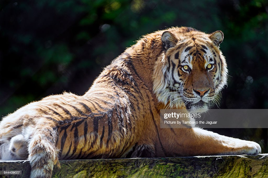 Siberian tiger nicely posing : Stock Photo