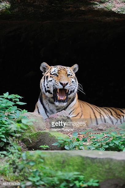 Siberian Tiger or Amur Tiger.
